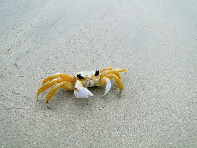 Krebs am Strand Karibik