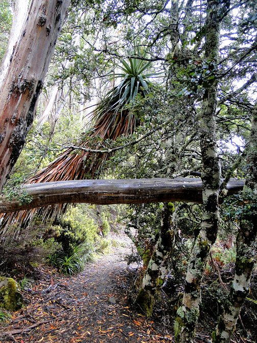 Regenwald Tasmanien