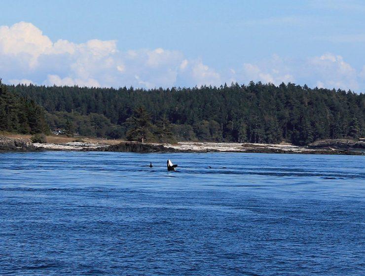 Orca im Meer